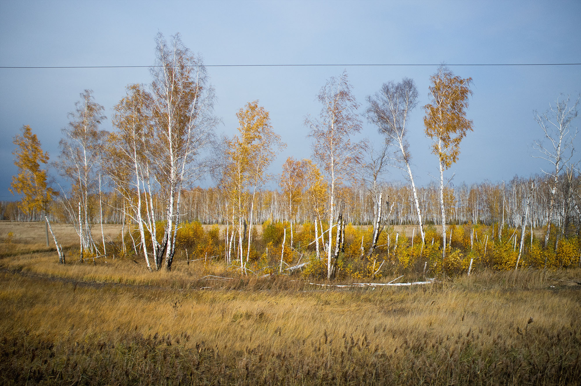 Endless fields of the birch trees.