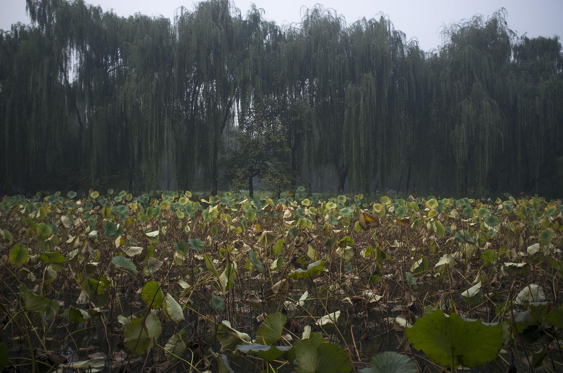 Lotus lake.