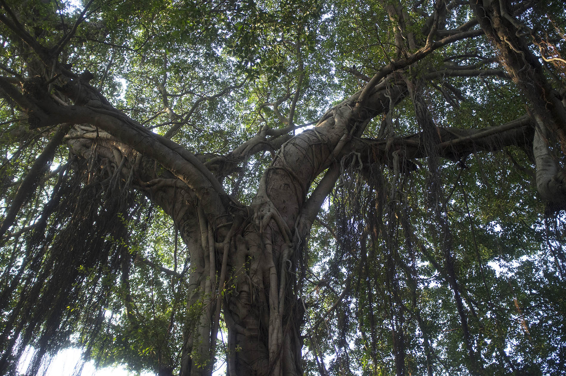 The local trees are elegant.